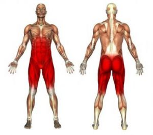 muscles travailles par le stepper