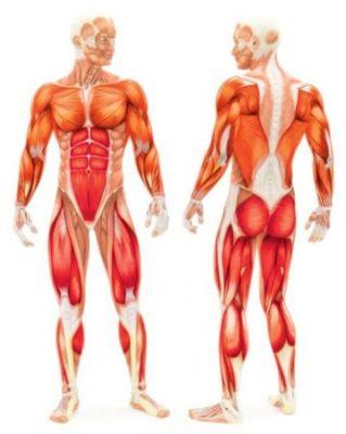 muscles travailles par tapis de course