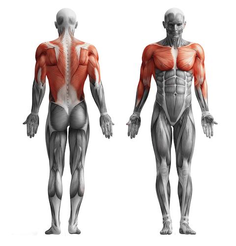 muscles travailles par les tactions